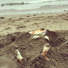 Beachy Corgi