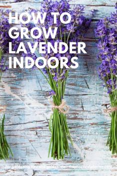 In this lavender care guide, learn all the tips and tricks for growing lavender indoors, as well as what to watch for. Growing Lavender Indoors, Growing Flowers, Growing Plants, Planting Flowers, Garden Plants, Indoor Plants, House Plants, Garden Fun, English Lavender Plant