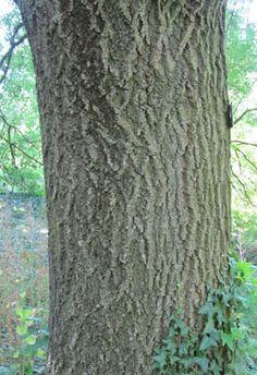 Feuille de fr ne arbres et for ts trees pinterest allergies - Reconnaitre les arbres par leur tronc ...