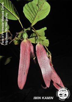 Dipterocarpus costulatus - Fruits(ii).jpg