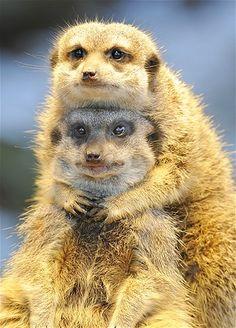 BFF Meerkats