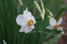 Poet's daffodils- they remind me of my grandmother's garden :)