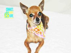 PRISCILLA (A1698667) I am a female brown Chihuahua - Smooth Coated. The shelter staff think I am about 10 years old and I weigh 3 pounds. I was found as a stray and I may be available for adoption on 05/20/2015. — hier: Miami Dade County Animal Services. https://www.facebook.com/urgentdogsofmiami/photos/pb.191859757515102.-2207520000.1432143083./979576562076747/?type=3&theater