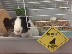 Humphrey the Guinea Pig