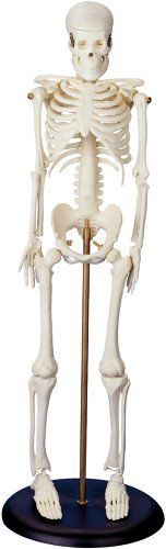 "My First Skeleton (Tiny Tim) 16 1/2"" Plastic Model *** Additional info @"