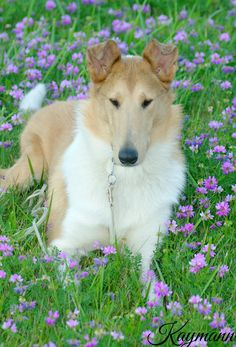 Kaymann Mistress of Attraction, CGN Smooth Collie, The Perfect Dog, Rogues, Mistress, Attraction, Corgi, Best Friends, Star, Animals