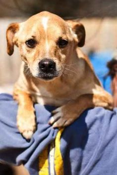 Meet Idgie-a-boo SENIOR, a Petfinder adoptable Pug Dog   Nashville, TN   Robyn's Nest Animal Rescue & SanctuaryNashville, TN  email: rbynesnest@yahoo.com IDGIE or IDG-a-BOO...