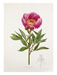 Paeonia broteri Giclée-Druck von Lilian Snelling bei AllPosters.de 44,99€