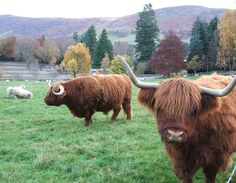 A Highland Coo!