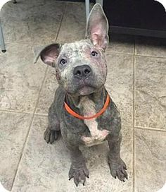 Dallas, GA - Pit Bull Terrier. Meet Dempsey, a dog for adoption. http://www.adoptapet.com/pet/15445865-dallas-georgia-pit-bull-terrier