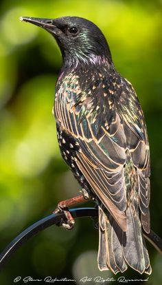 Stunning Starling - Birds - By TayUK