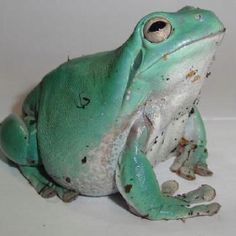Dumpy Whites Tree Frog