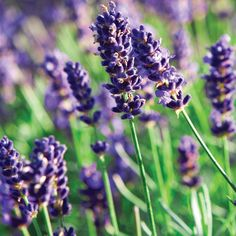 Also all over my garden. I much prefer this to the bunny-ear lavender. Smells better too. And the bees love it.
