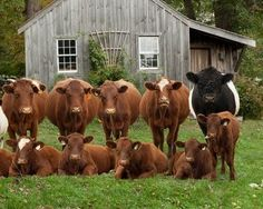 9 brown cows and 1 bison #agriculture #breeding #farming