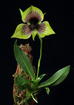 Orchid: Telipogon panamensis - Mounted