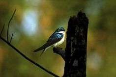 _MG_0004-blue bird of paradise 122407