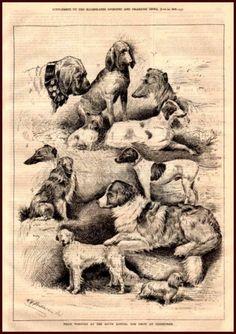 Edinburgh Dog Show Winners, Deerhound, Mastiff, Yorkie, Maltese, Antique 1878