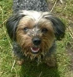 """Wheelchair-bound Stuart Cope could only watch in horror as the Staffie came straight for his Yorkie. """"He was on a lead, but he was so strong he snapped it, and the owner was helpless to stop him charging over. It was over in seconds. I sat there and watched in horror. Alfie didn't stand a chance."""" (Oct 2016, Nantwich, UK)"""
