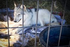 World: (via TakePart Daily) See - act on - news from TakePart including there is a Gray Wolf fur farm in Minnesota!