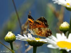 Pearl Crescent (Spring flowers insects water ). Photo by gardner48197
