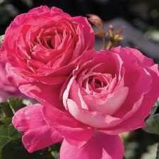 Baronne De Rothschild Hybrid Rose