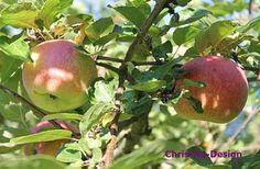 Deilige norske epler! - Fra kosekroken. - Chris-Ho.com