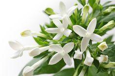 Bouvardia, nossa flor desta semana.E não há ninguém melhor para descobrir tudo sobre essa belíssima flor que o querido Sergio Oyama Junior, do Orquídeas no