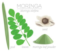 Learn about moringa benefits, why it's good for weight loss and some of our favourite moringa uses. This is a superfood worth paying attention to for your health Moringa Uses, Moringa Benefits, Moringa Oil, Health Benefits, Health Tips, Health Care, Healthy Eyes, Healthy Foods To Eat, Healthy Eating