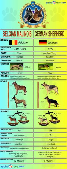 German Shepherd Vs Belgian Malinois | Globerove