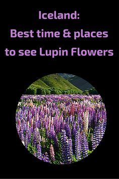 Iceland - Best time and places to see lupin flowers