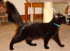 black turkish angora cats - Google Search - just like my Tommy! Turkish Van Cats, Turkish Angora Cat, Angora Cats, Selkirk Rex, Herding Cats, Cornish Rex, Devon Rex, Cat Breeds, Animals And Pets