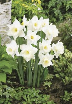 Hello Spring, Mount Hood Daffodils From: Flowers Garden Love, please visit White Flowers, Beautiful Flowers, Exotic Flowers, Yellow Roses, Purple Flowers, Pink Roses, Spring Bulbs, White Gardens, Spring Garden