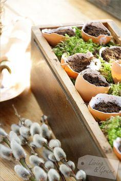 Pflanzenanzucht in Eierschalen sind auch eine hübsche Dekoration für die Fensterbank!
