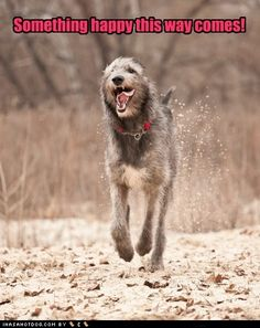 I would absolutely freaking love to own an Irish Wolfhound, or a Scottish Deerhound. The deerhound might be doable. The average lifespan of a wolfhound is 7 years. I couldn't say goodbye that soon. Giant Dogs, Big Dogs, I Love Dogs, Cute Dogs, Irish Wolfhound Dogs, Wolfhound Puppies, Scottish Deerhound, Irish Terrier, Funny Dog Pictures