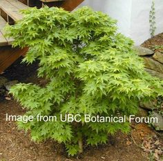 Acer palmatum ' Aoba jo ' This is a strong green colored dwarf Japanese Maple Shrub. Leaves are 7 lobed and a good size for a dwarf tree. The coloring is green with bronze edges and tips, Fall colors