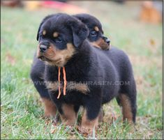 www.vomblaurasen.com/rottweiler_puppies/rottweiler_puppies_R2.jpg