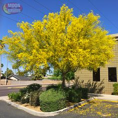 This Blue Palo Verde is the classic version of the Palo Verde that has been growing in the Southwest for centuries. Known for its early arrival of bright golden yellow flowers, the Palo Verde is among the most popular trees used in desert and water-wise landscapes. The vivid colors of this tree offer landscapers several ways to embellish their style as the green trunks show well with spotlights at night and stand out very well on their own during the day. Great for Arizona, California, Las…