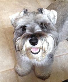This is Amy such an adorable mini schnauzer with a gorgeous little face