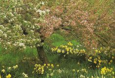 So pretty. Spring blossoms on trees with a sprinkling of daffodils. Tasha Tudor's Garden | Design*Sponge