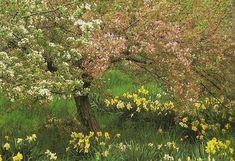 So pretty. Spring blossoms on trees with a sprinkling of daffodils. Tasha Tudor's Garden | Design*Sponge