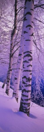 Birch Trees at the Frozen Riverside, Vuoksi River, Imatra, Finland - I need to go to Finland!