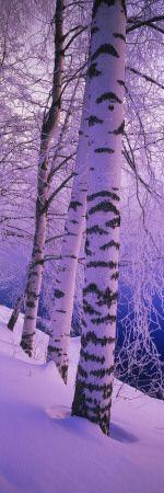 Birch Trees at the Frozen Riverside, Vuoksi River, Imatra, Finland - I need to go to Finland!