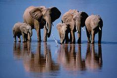 Unha garza entre unha familia de elefantes