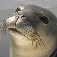 The Marine Mammal Center : Ke Kai Ola: The Hawaiian Monk Seal Hospital
