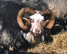 Gotland lamb The domestic sheep (Gotlandsfår) with round big horns is the oldest sheep breed in Sweden.