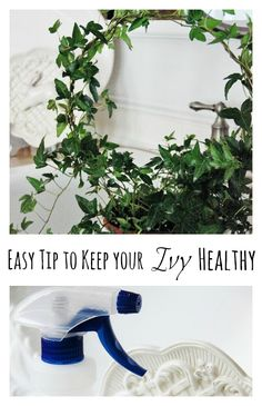 How-to-keep-your-ivy-healthy from @Thistlewood Farm