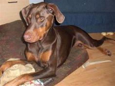 Hunter is an adoptable Doberman Pinscher Dog in Hubbards, NS. My name is Hunter. I am a two year old neutered red male doberman. I need an owner who is knowledgeable and preferably experienced with my...