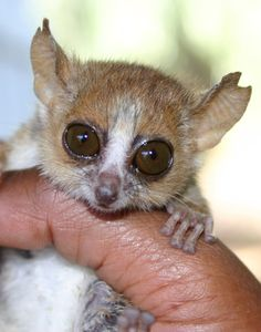 "August 9, 2005—You're a good man, Microcebus lehilahytsara—quite literally. The German and Madagascan scientists who discovered the new lemur species named it for U.S. lemur expert Steve Goodman (""lehilahytsara"" is Malagasy for ""good man""). - Ted Chamberlain"