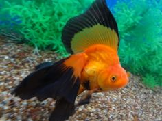 Veil-Tail Ryukin goldfish; ryukin are characterized by their 'hunchback' appearance