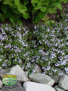 VERONICA SURCULOSA WATERPERRY BLUE SPEEDWELL